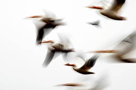 Eric Rundle - Flight of the Pelican