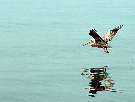 Flight of the Pelican by Laurie Poetschke