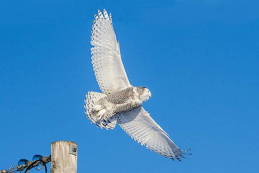 Flight of the Snowy Owl by Kathy Weigman