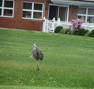 Floating on the Lawn Blue Heron  by Debbie Nester