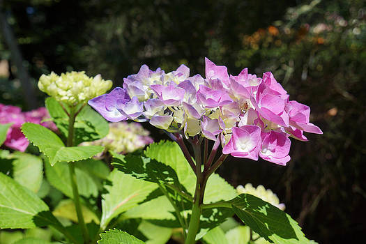 Baslee Troutman - Floral Art Photography Pink Lavender Hydrangeas