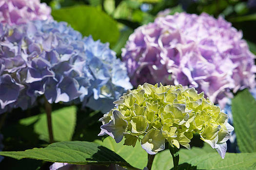 Baslee Troutman - Floral Photography Art Prints Hydrangeas Flowers