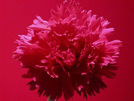 Flores de mi suenos 11 by Pablo Rivera