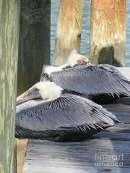 Florida Brown Pelicans by Tracy L Teeter
