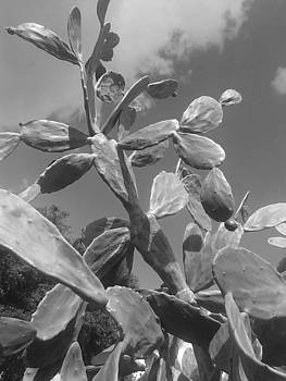 Shere Crossman - Florida Cactus Tree in Black and White too