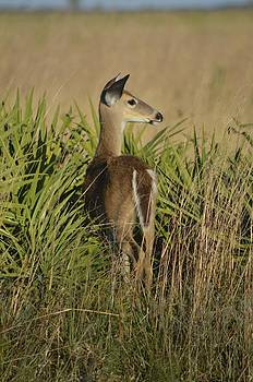 Florida Deer by Amber Bobbitt