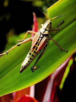 Florida Grasshopper  by Michael Molumby