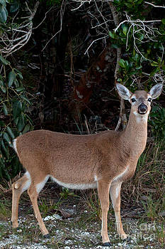 Florida Key Deer by Natural Focal Point Photography