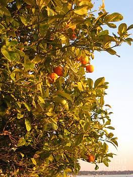 Florida Oranges by Joanne Askew