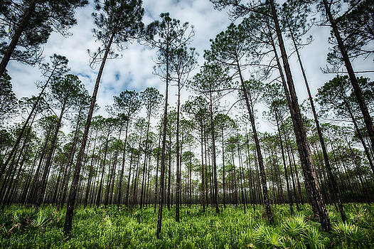 David Morel - Florida Pines III