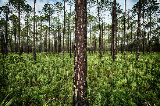 David Morel - Florida Pines IV