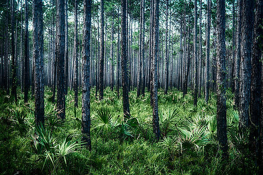 David Morel - Florida Pines VII