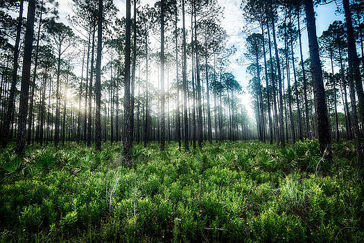 David Morel - Florida Pines XI