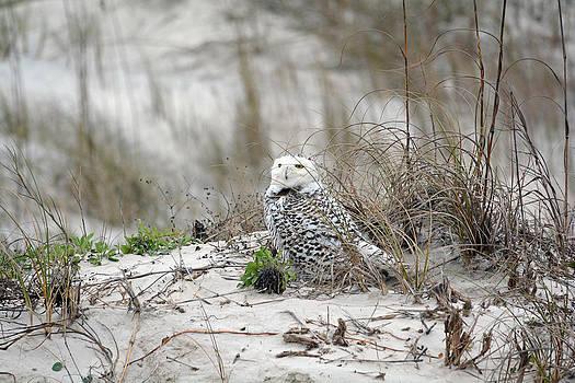 Florida Snowy Owl Little Talbot Island Florida by Larry Van Valkenburgh