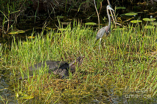 Florida Soft Shelled Turtle and Friend by Natural Focal Point Photography