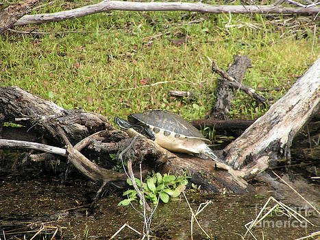 Florida Turtle by Tracy L Teeter