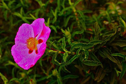 Flower 2 by Carol Tsiatsios
