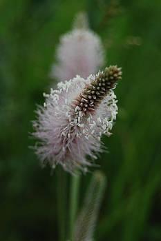 Gynt   - Flower blossom
