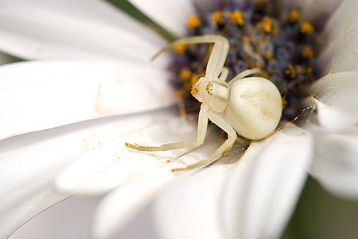 Flower Crab Spider Guarding the Web by Randal Ketchem