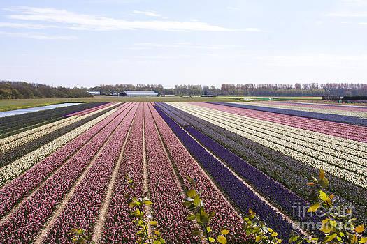 Flower Field Holland by Sara  Meijer