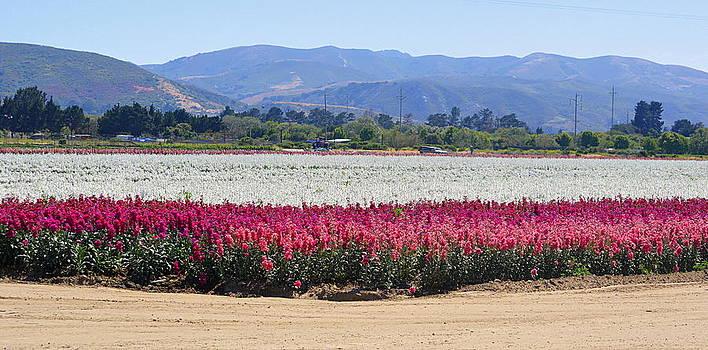 Flower Fields of Lompoc Valley by AJ  Schibig