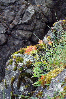 Flower - Indian Paintbrush by A D Jodrell