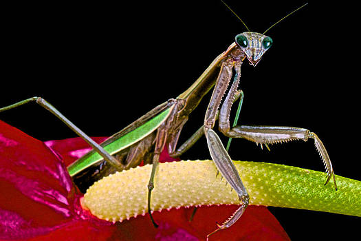 Praying Mantis Taking A Walk While Looking Right At Me by Leslie Crotty