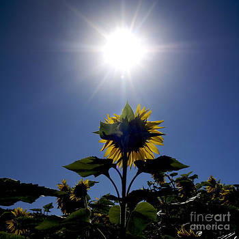 BERNARD JAUBERT - Flower of sunflowers