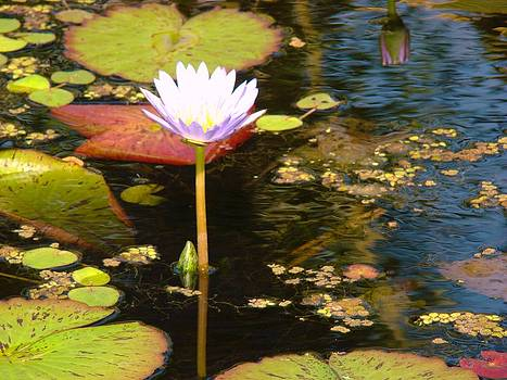 Flower on the Pond 2 by Van Ness