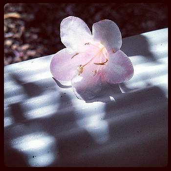 #flower #pink #sunny #weigela by Larissa Holderness