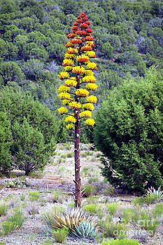 Douglas Taylor - FLOWERING AGAVE