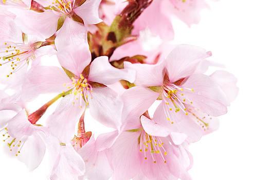 Jo Ann Snover - Flowering cherry