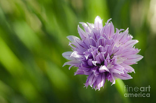 Flowering Chive by Dee Cresswell