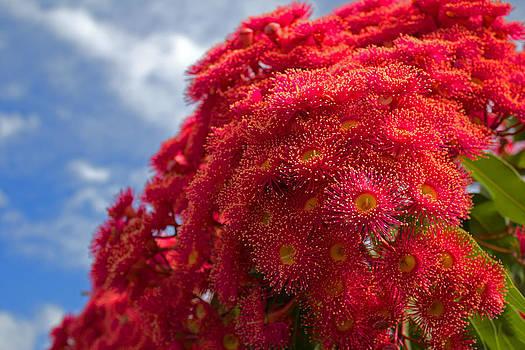 Flowering Gum Tree by Mamie Thornbrue