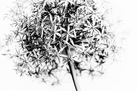 Elena Elisseeva - Flowering onion
