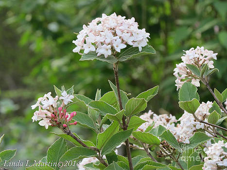 Linda L Martin - Flowering Shrub 2