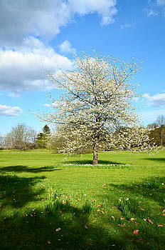 Gynt   - Flowering tree in spring