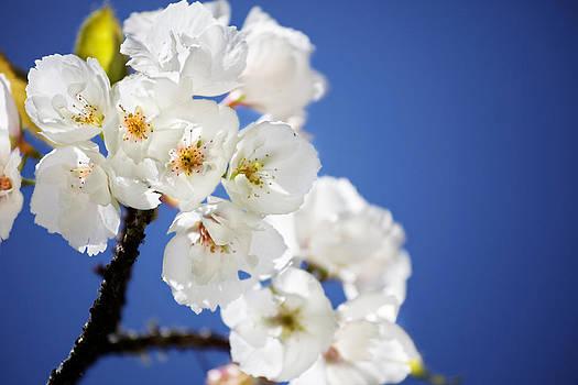 Jo Ann Snover - Flowering trees