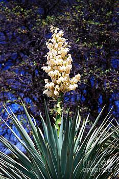 Douglas Taylor - FLOWERING YUCCA - KENTUCKY CAMP