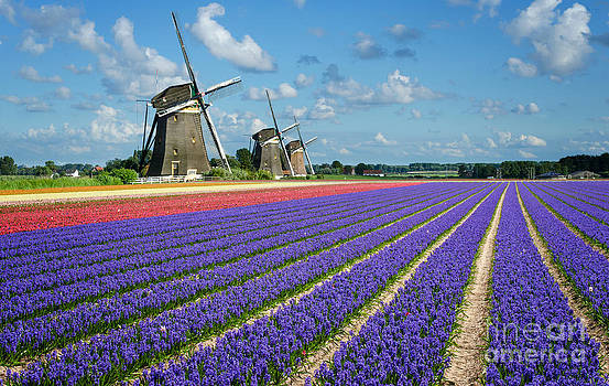 Landscape in spring with flowers and windmills in Holland by IPics Photography