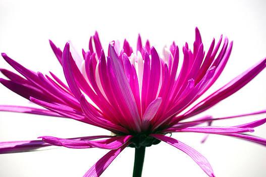 Flowers de mi suenos 8 by Pablo Rivera