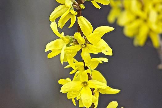 Jennifer Lamanca Kaufman - Flowers in all yellow