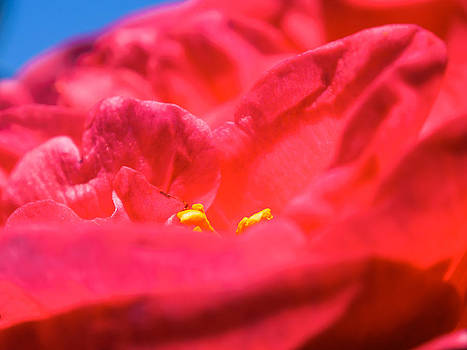 Flowers Of Camellia by Giovanni Bertagna