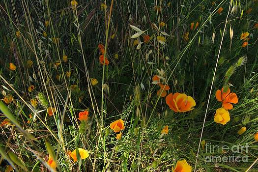 Flowers Of Wild  by Tim Rice