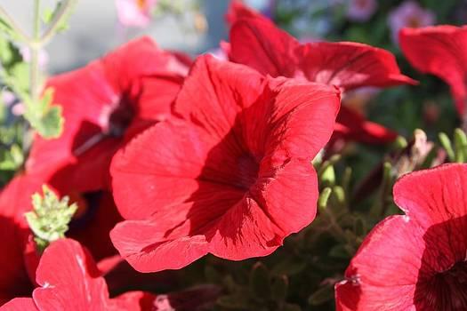 Flowers... Red by Lazaro Hofmann