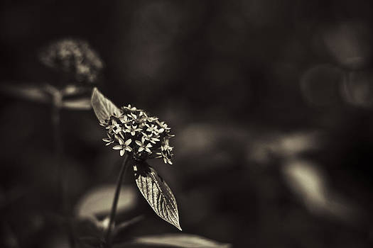 Flowers Sepia by Bradley R Youngberg