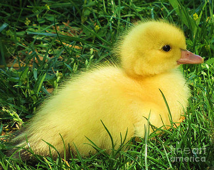 Fluffy Baby Duck by Leslie Kirk