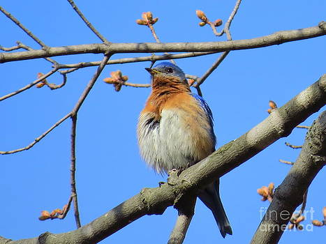 Fluffy Bluebird by David Lankton