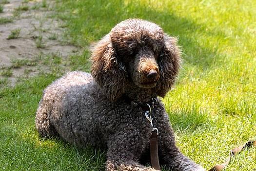 Janice Byer - Fluffy Poodle