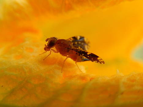 Fly on Orange by Rosvin Des Bouillons